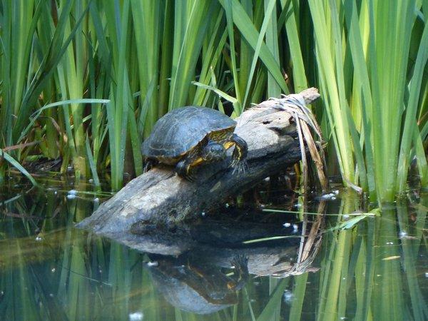 sausset-les pins tortue dans la zone humide